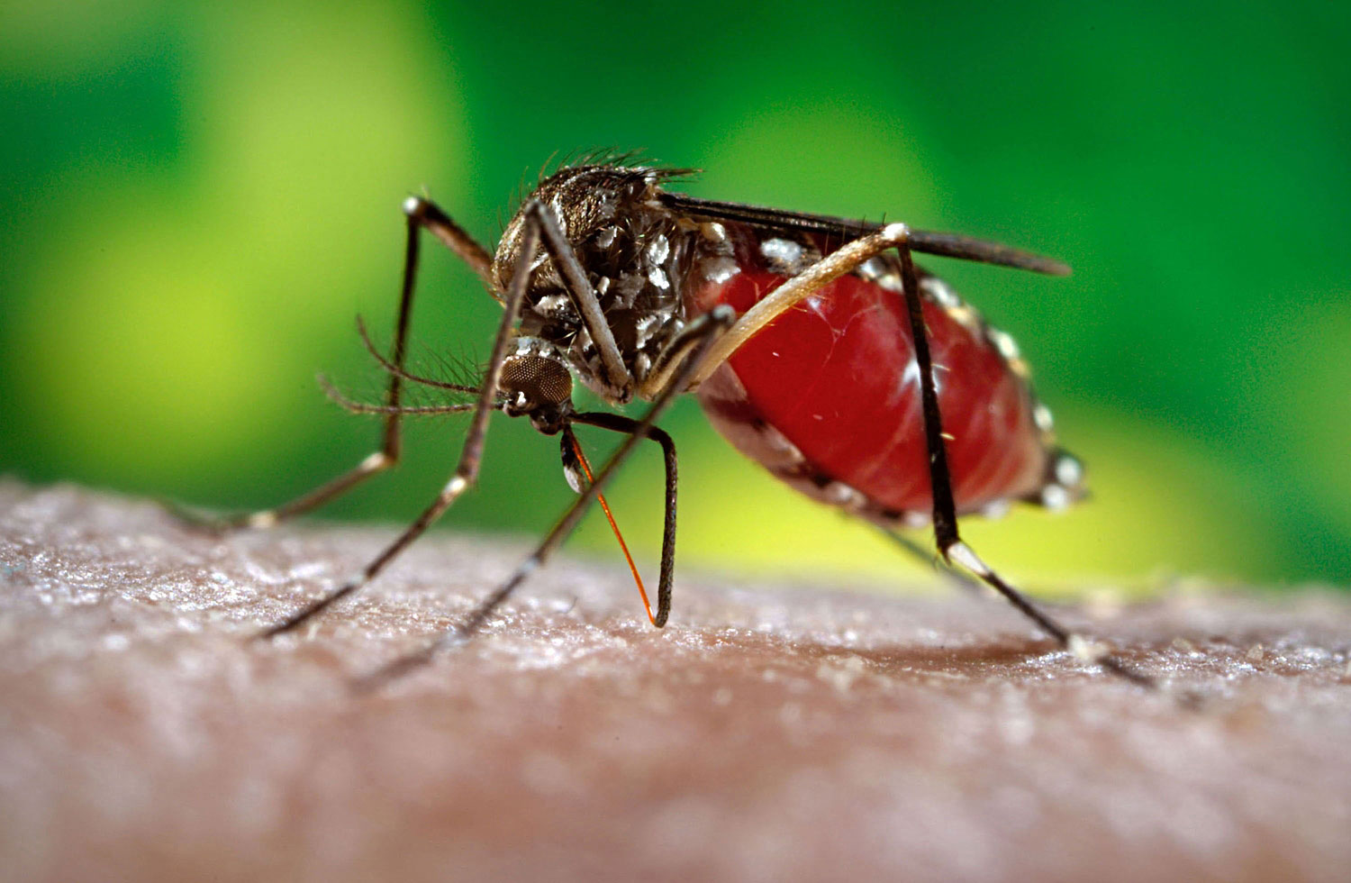 Aedes-aegypti-large