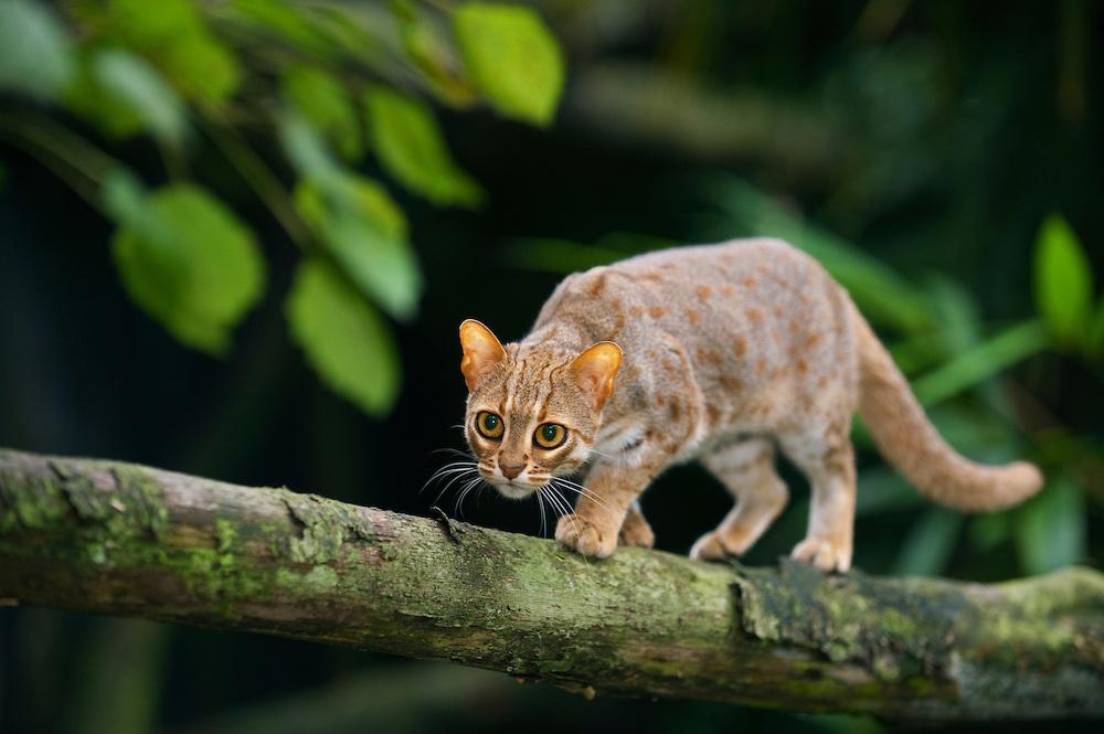 Rusty-spotted cat (Prionailurus rubininosus phillipsi)  Sri Lank