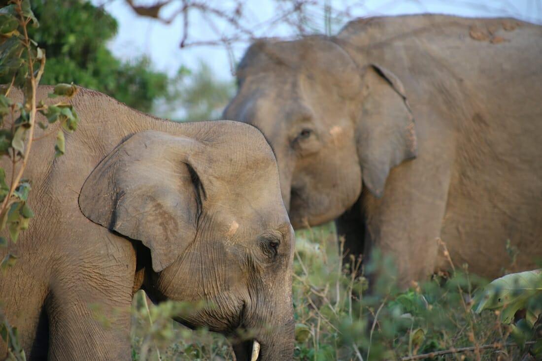 Udawalawe-National-Park-Sri-Lanka-Elephant-Wildlife-Safari-Feature-Photo
