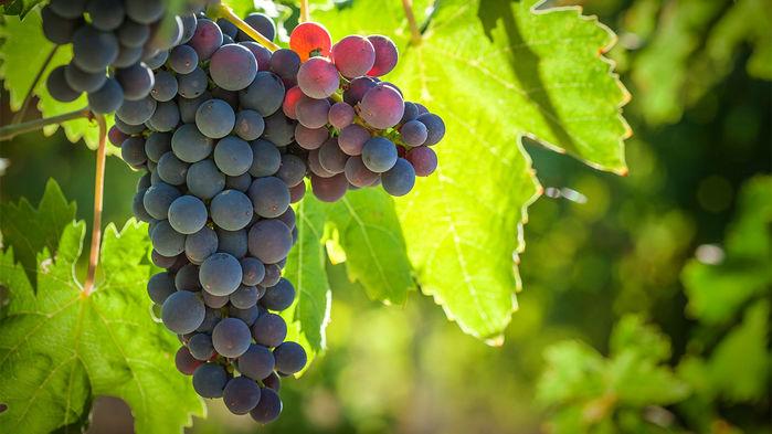 grapes_16x9